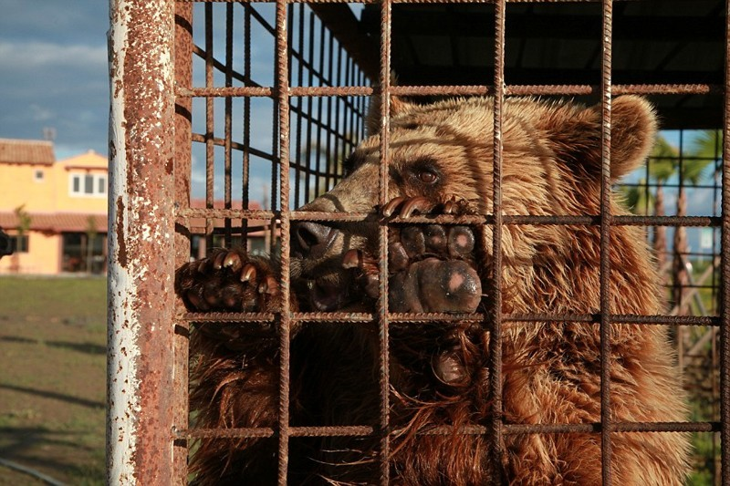 В Албании жестокое обращение с медведями не редкость и, хотя Томи повезло, многие другие медведи остаются в чудовищных условиях албания, животные, защита животных, медведь