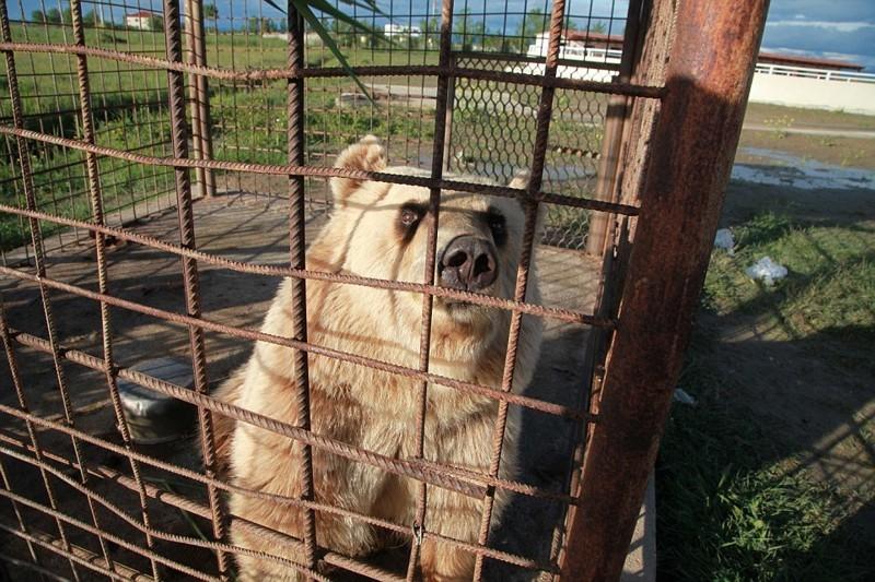 Медведица Ледья в клетке у ресторана всего в 8 км от столицы Албании албания, животные, защита животных, медведь
