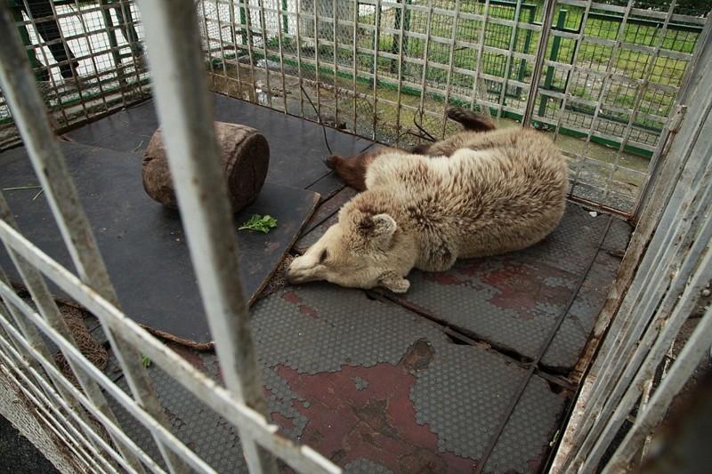 Медведица Луна живет в клетке в парке развлечений в городе Влоре, 160 км от столицы албания, животные, защита животных, медведь