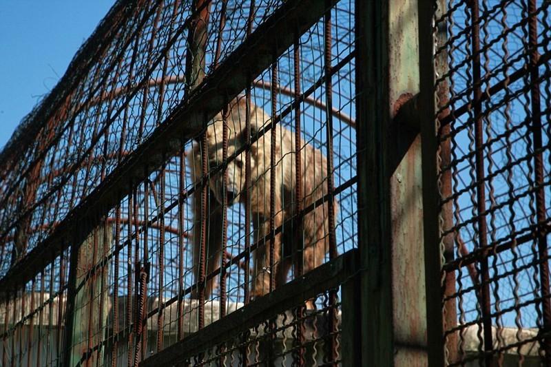 Как и в случае с Томи, хозяева заведений ловят и запирают медведей в клетках с расчетом на то, что они привлекут больше клиентов албания, животные, защита животных, медведь