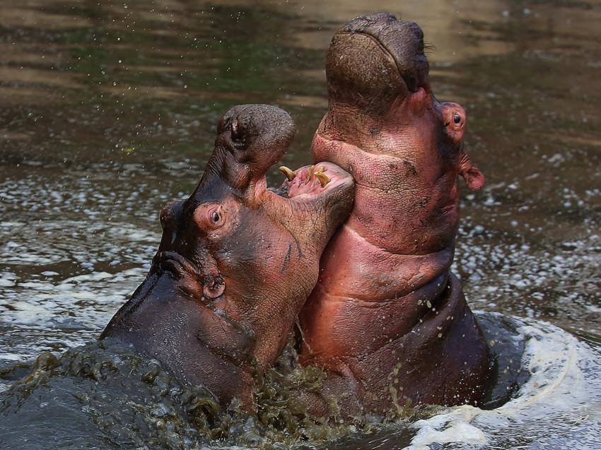 Пост обожания бегемотиков бегемотик, факты, фотографии