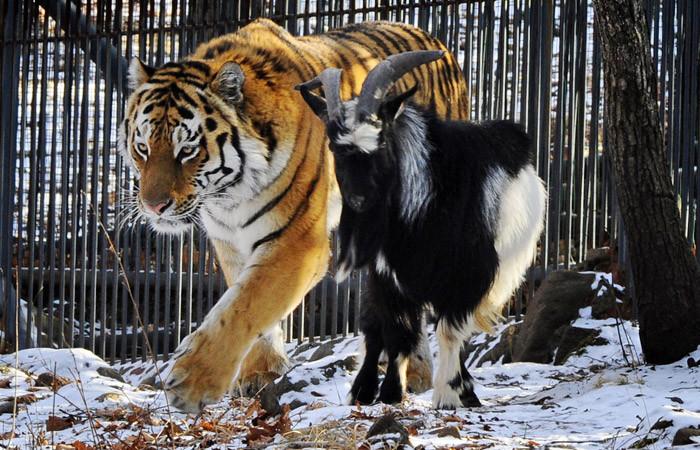 Тигр Амур со своим другом, козлом Тимуром дружба, животные, милота, прикол