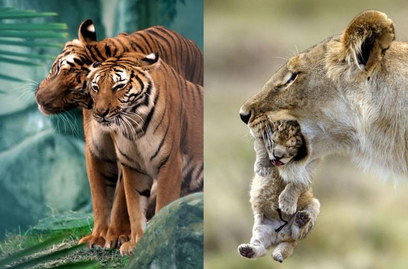 26 чудесных семейных фотографий из мира животных  животные, любовь, семья