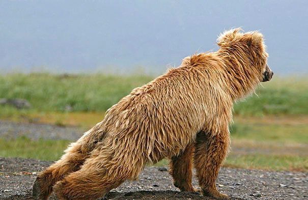 Открываем в себе своего внутреннего медвежонка... животные, йога, фото, юмор