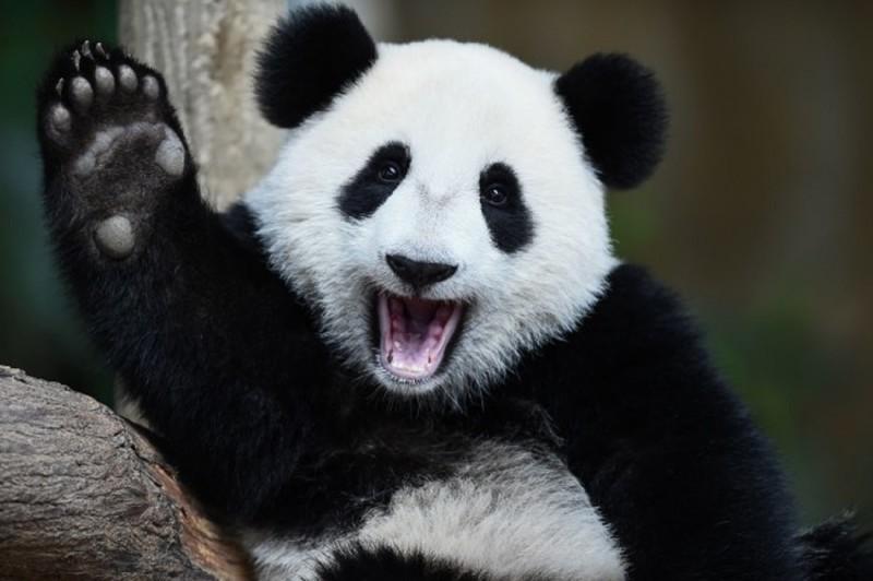 Отличные новости: гигантские панды будут жить! панда, природа, экология