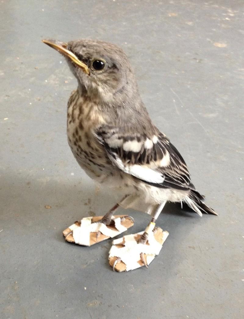 Спасатели просто соорудили для птицы пару крохотных «снегоступов» доброта, животные, птицы