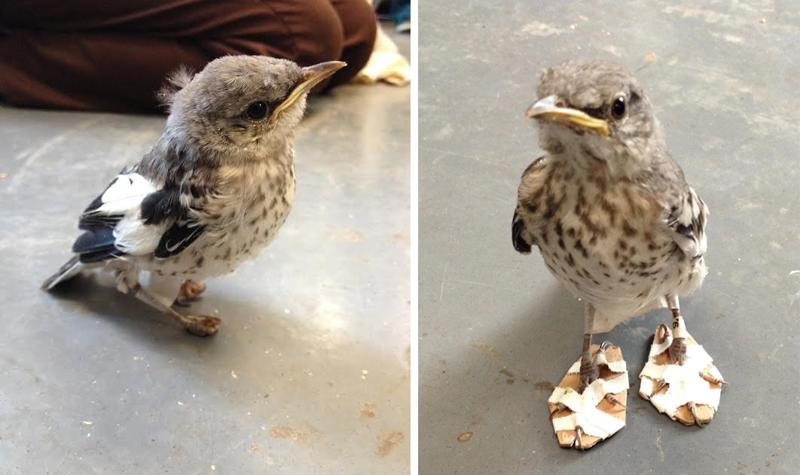 Больной птичке сделали мини-снегоступы, чтобы исправить дефект лапок доброта, животные, птицы