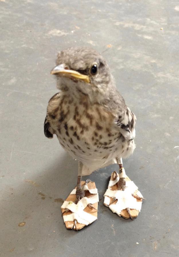 Мы рады сообщить, что, благодаря этому чуду инженерии, лапки пересмешника удалось вылечить, и теперь птицу ждет возвращение на волю доброта, животные, птицы