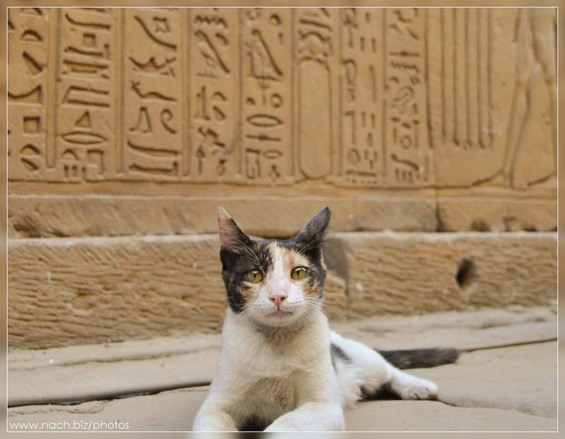 3. Ученый кот изучает иероглифы в Египте вокруг света, животные, коты, фотография