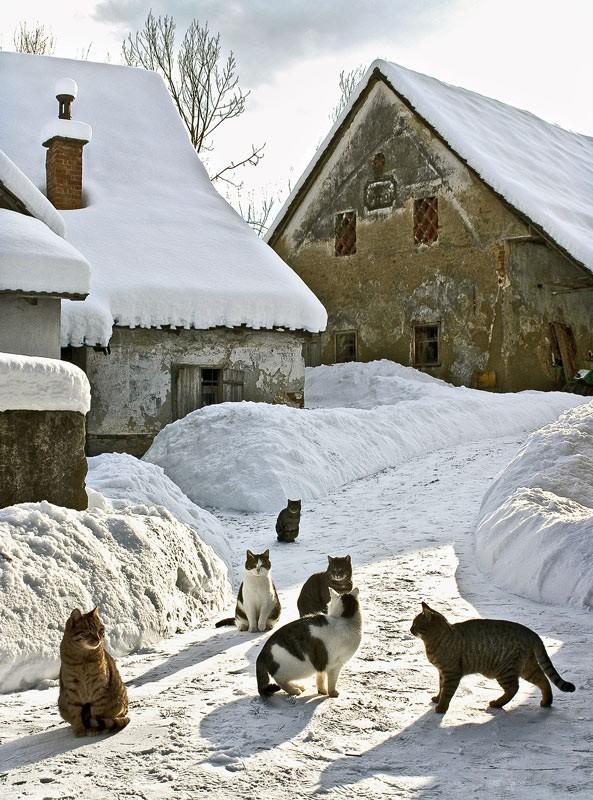 10. Идеальная зимняя сказка - снег и много кошек! вокруг света, животные, коты, фотография
