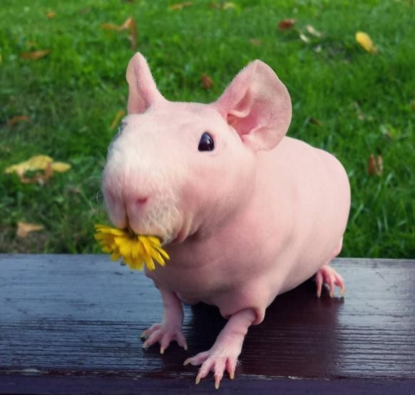 ...прогулками на свежем воздухе, где он нюхает и дегустирует цветы... животные, морская свинка