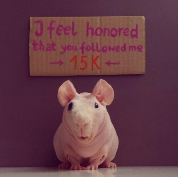 Он также не упускает возможности поблагодарить тысячи своих фанатов на Инстаграме животные, морская свинка