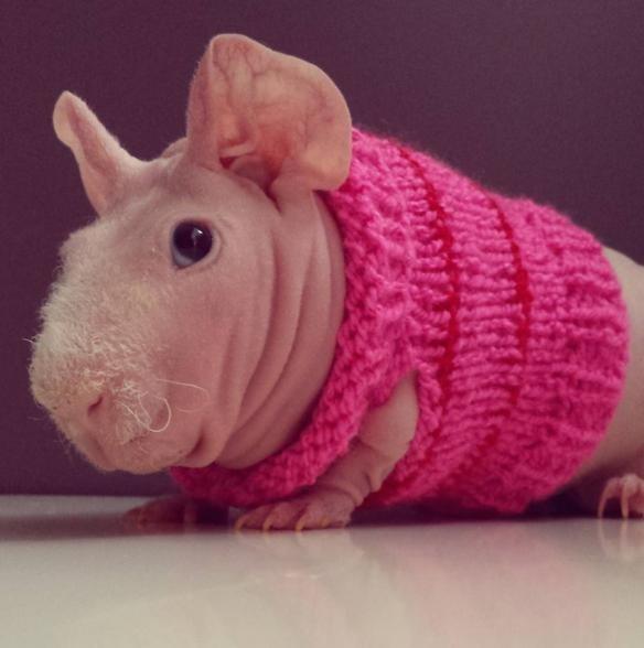 Он наслаждается стильными свитерами... животные, морская свинка