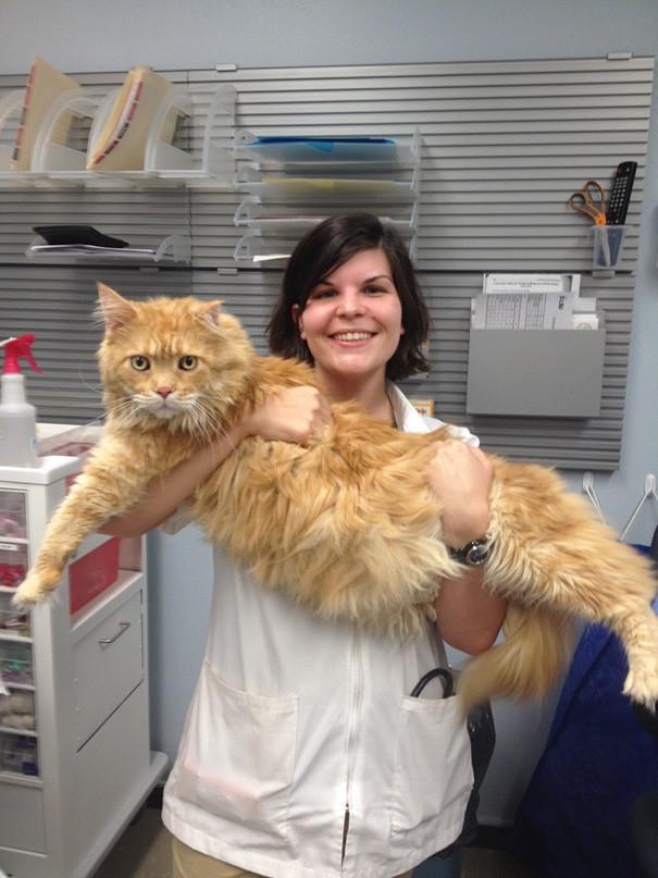 Мейн-кун по кличке Тигр ветеринары, животные