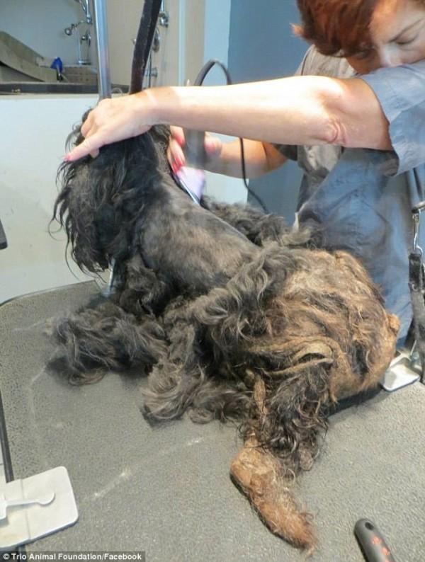 Грумер Келли согласилась прийти на работу пораньше, чтобы взяться за эту сложную задачу. зоозащитники, собака, стрижка, трансформация