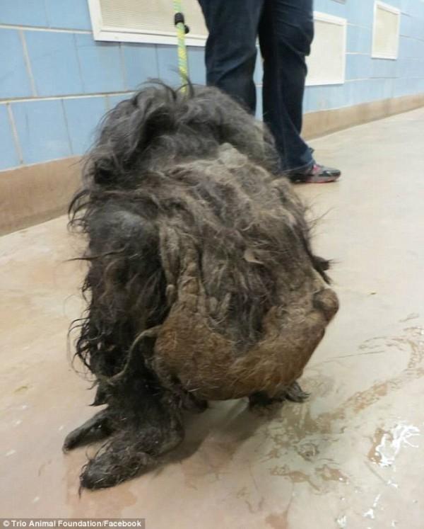 Ветеринары даже затруднялись определить ее пол! зоозащитники, собака, стрижка, трансформация