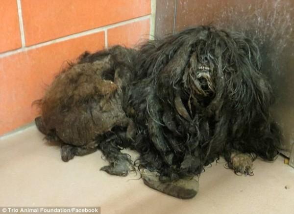 """Ее спасители из Trio Animal Foundation описывали ее как """"комок пропитанной мочой шерсти"""". зоозащитники, собака, стрижка, трансформация"""