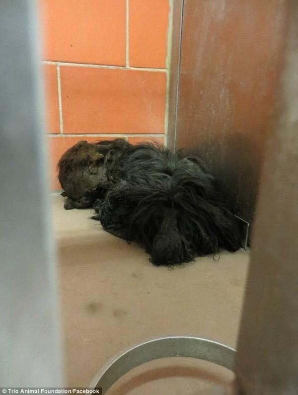Собака весила чуть больше 4 кг, 1 кг из которых целиком составляла шерсть зоозащитники, собака, стрижка, трансформация