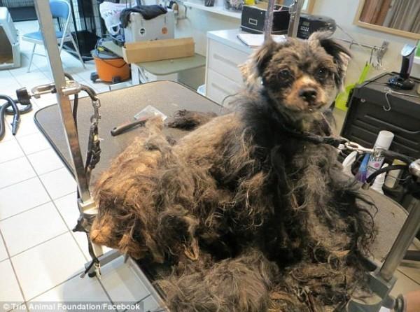 Стрижка заняла почти три часа. Именно во время стрижки Эллен получила свое имя зоозащитники, собака, стрижка, трансформация