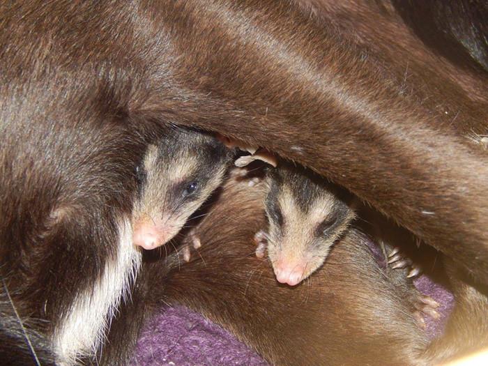 Собака стала мамой для маленьких опоссумов и катает их на спине животные, опоссумы, собаки