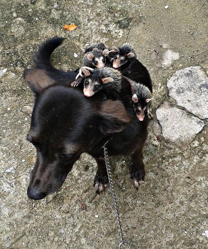 Знакомьтесь с Претиньей, счастливой мамой животные, опоссумы, собаки