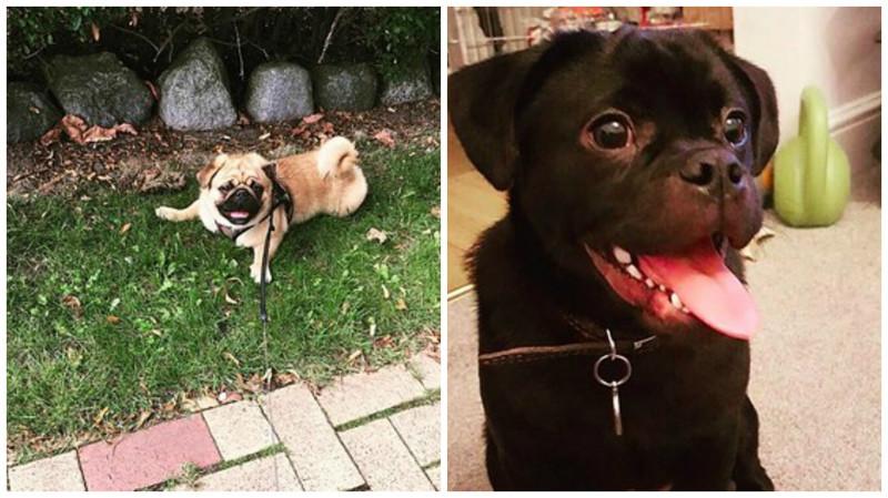 Мопс + пекинес метисы, мопс, очаровательно, породы, собаки