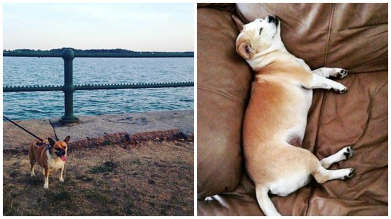 Мопс + корги метисы, мопс, очаровательно, породы, собаки