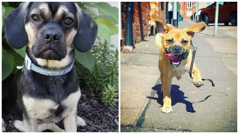 Мопс + бигль метисы, мопс, очаровательно, породы, собаки