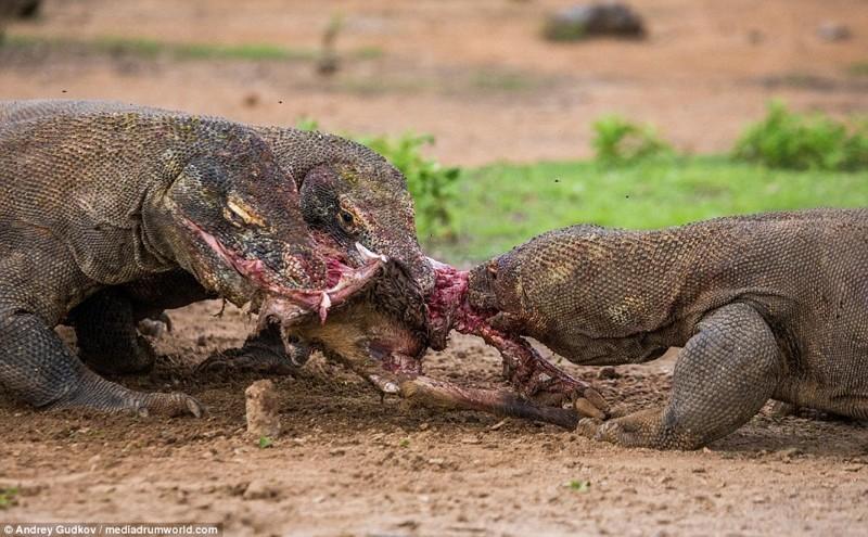 Комодские вараны - драконы наших дней драконы, животные, индонезия