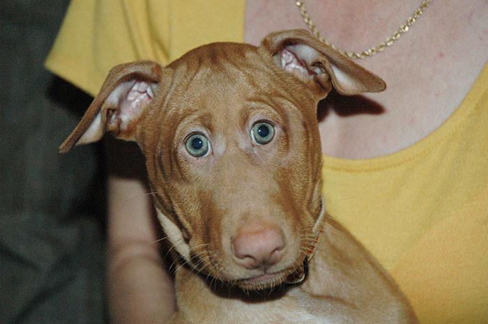 Фараонова собака глаза, животные, фотошоп