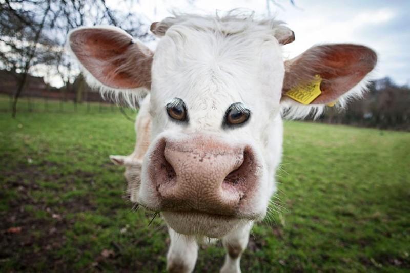 Корова глаза, животные, фотошоп