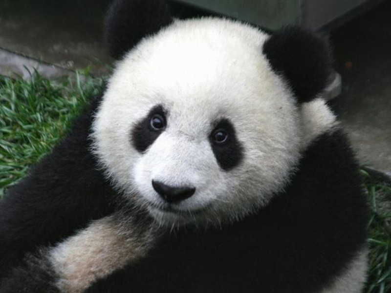 Панда глаза, животные, фотошоп