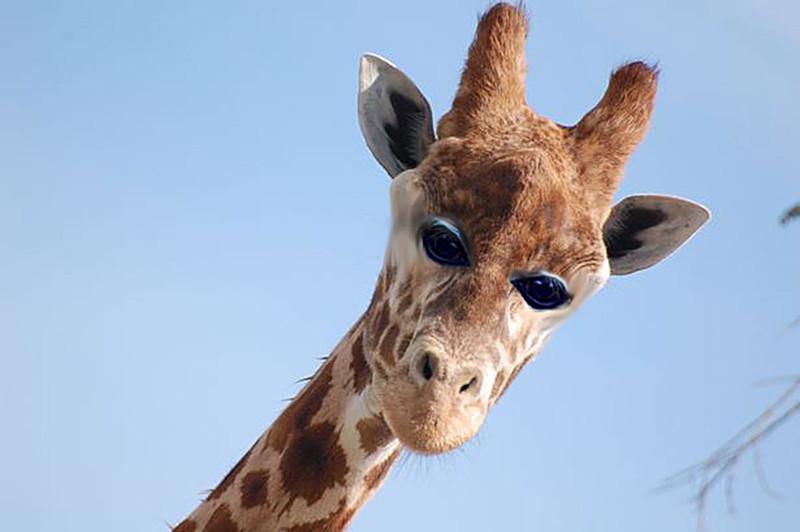 Жираф глаза, животные, фотошоп
