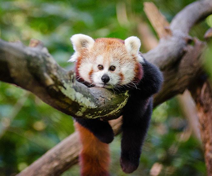Малая панда  глаза, животные, фотошоп