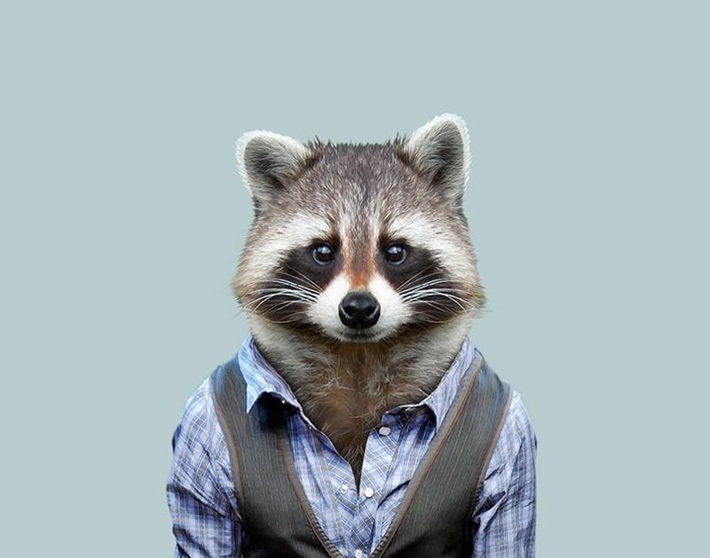 Енот-полоскун   животные, одежда, художник