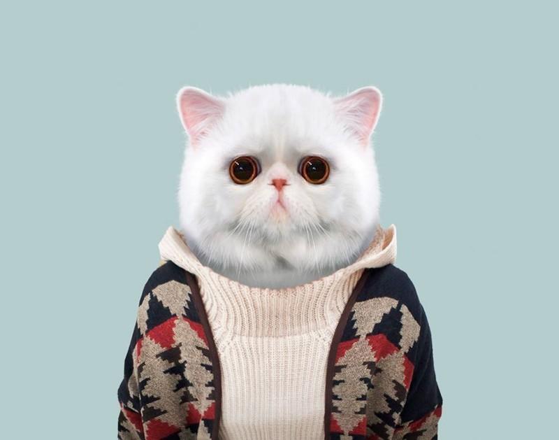 Экзотическая короткошерстная кошка    животные, одежда, художник
