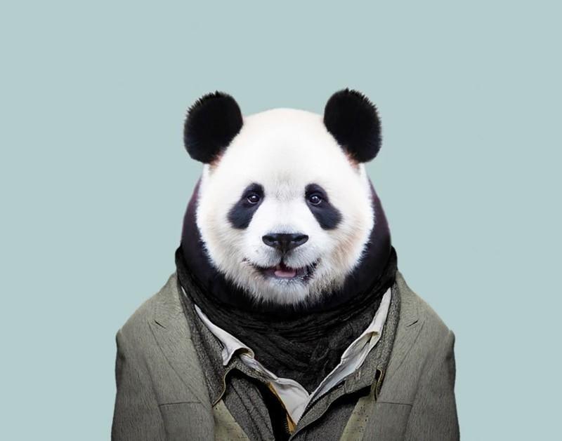 Гигантская панда    животные, одежда, художник