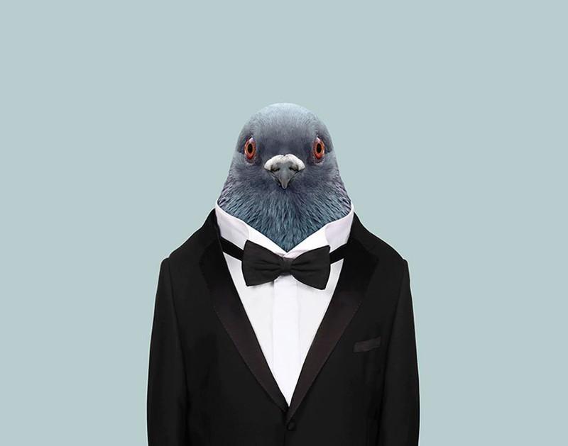 Домашний голубь    животные, одежда, художник