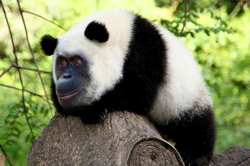 Орангупанда животные, фотошоп, юмор.