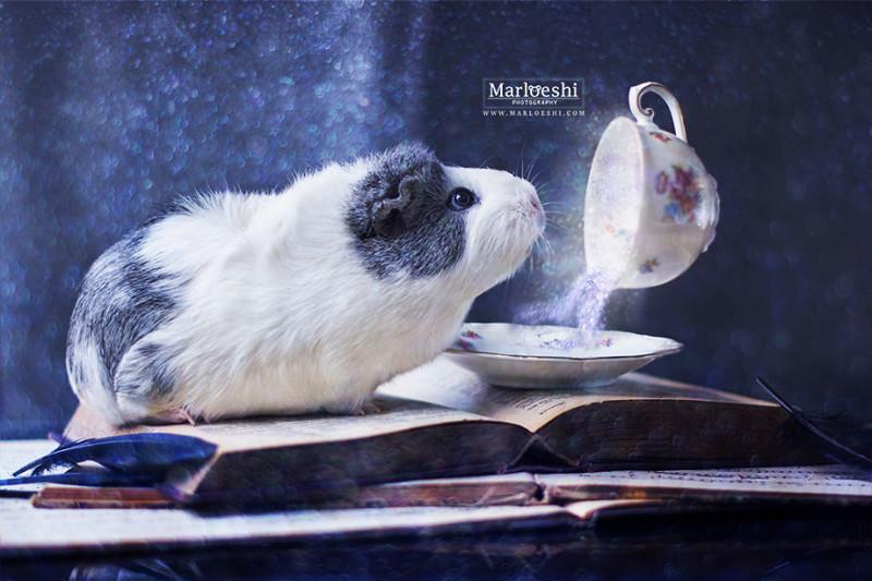 Знакомьтесь, невероятно фотогеничная морская свинка по кличке Мипс животные, морская свинка, фотосессия