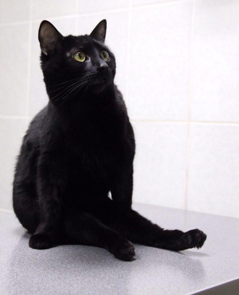 Когда-то мне прищемили лапы дверью, и с тех пор я не могу ходить. добро, клиника клык, кот люцик, котики, черный кот