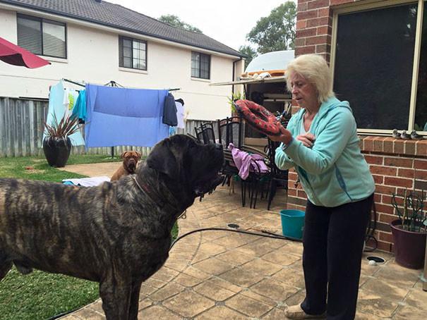 Самая крупная собачка Австралии не осознает свой вес и обрушивает на хозяина все 113 кг своей любви максипес, мастиф, мастифф, огромная собака, собаченька мастиф