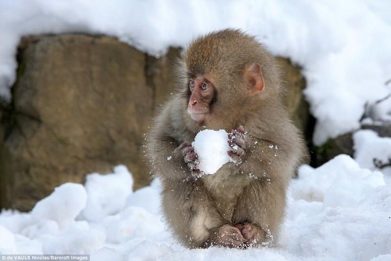 Маленькая обезьянка лепит снежок животные, конкурс, позитив, прикол