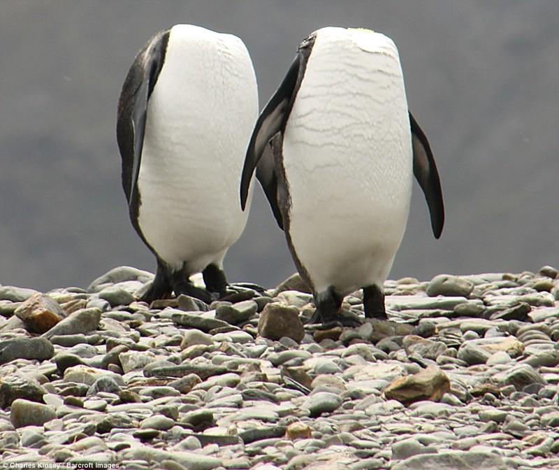 Безголовые пингвины. животные, конкурс, позитив, прикол