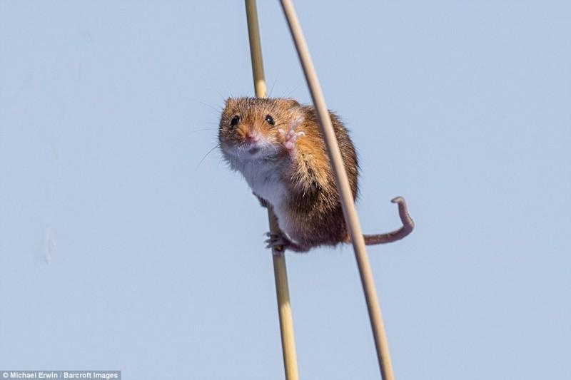 Всем привет! Мышь на полях Англии.  животные, конкурс, позитив, прикол