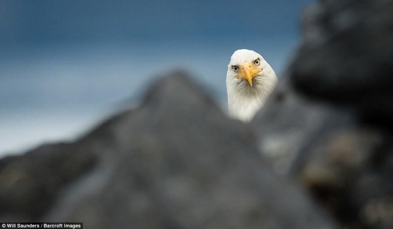 У таких серьезных птиц, как белоголовый орлан, не бывает игривого настроения. Можно поймать лишь момент любопытства.  животные, конкурс, позитив, прикол