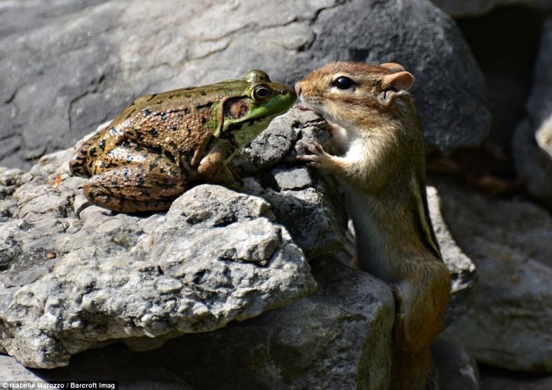 Знакомство. Лягушка и бурундук животные, конкурс, позитив, прикол