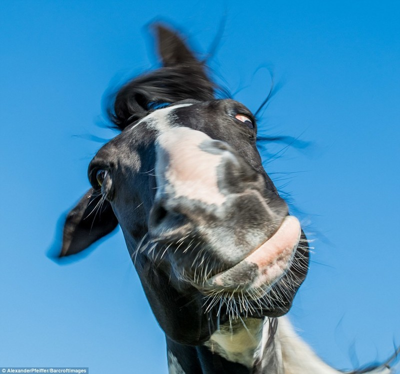 Лошадь гримасничает на камеру животные, конкурс, позитив, прикол