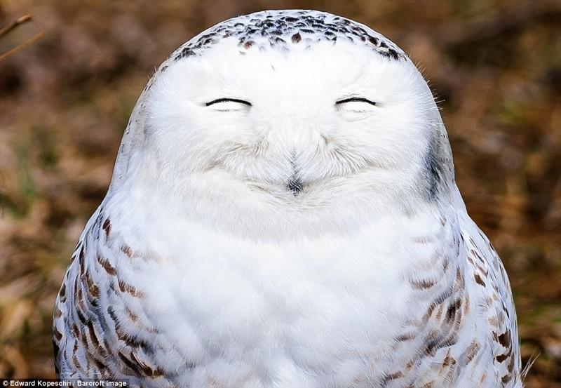 А вот полярные совы бывает, что выглядят очень довольными животные, конкурс, позитив, прикол
