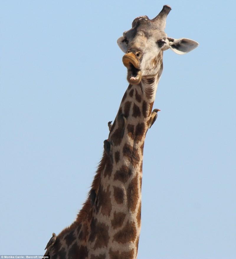Удивленный жираф животные, конкурс, позитив, прикол